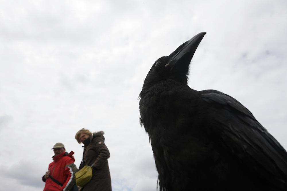 Raven (Corvus corax) at Cliffs of Moher, Ireland