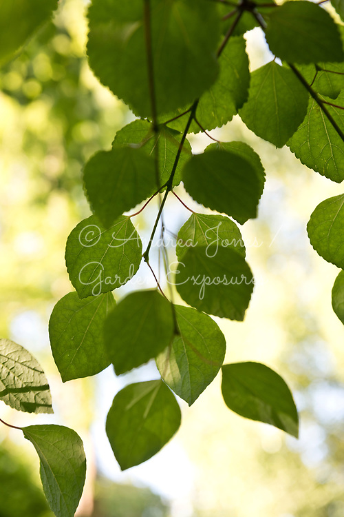 Hanging foliage and branches of a Tilia cv (lime) tree