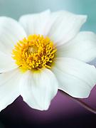 Dahlia 'Twynings after Eight' - single-flowered dahlia