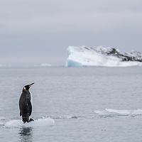 A lone king penguin rests on ice with a  striated glacial iceberg in the background. Nordenskjold Glacier, Cumberland East Bay, north coast of South Georgia Island.