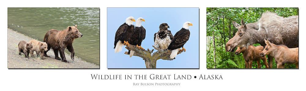 Triptych of Brown Bears,  Bald Eagles, and Moose in Alaska.