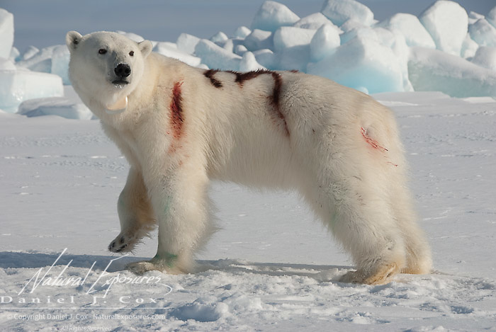A female polar bear (Ursus maritimus) newly painted with an identifying number on her back, stands in a groggy, disoriented state having just emerged from an immobilizing drug used by USGS biologists to perform field research. Kaktovik, Alaska.