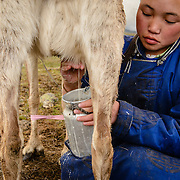 A close-up of a girl milking a reindeer in a Dukha (Tsaatan) reindeer herder settlement in Mongolia. One reindeer yields approximately one cup of milk per day, used for cheese making and milk consumption. Photo © Robert van Sluis
