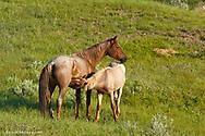 Wild Horses at Theodore Roosevelt National Park in North Dakota