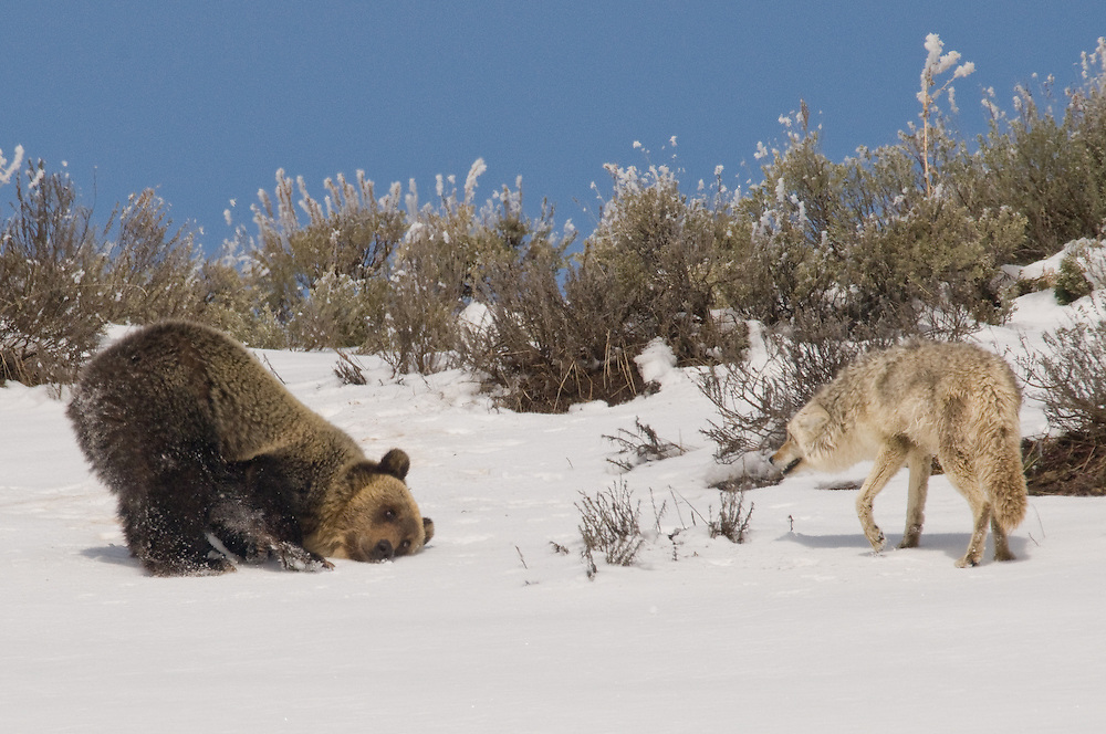 Assuming a dog-like pose, the young grizzly makes one more attempt to engage the coyote in play.
