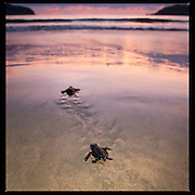 "The heartwarming experience of turtle hatchlings returning to the sea just after sunset on the sheltered Pacific Ocean beach of Playa la Ropa, Zihuatanejo, Guerrero, Mexico.  These green turtles (Chelonia mydas), once common, are now endangered and have been released by ""turtle-saver"" volunteers working to save them from extinction.  Releasing them just after sunset maximizes their chances of survival by evading predators, both natural and human.  Good luck little fellas!"