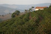 Poco Fundo_MG, Brasil.<br /> <br /> Cultivo de cafe em Poco Fundo, Minas Gerais.<br /> <br /> Coffee cultivation in Poco Fundo, Minas Gerais.<br /> <br /> Foto: JOAO MARCOS ROSA / NITRO