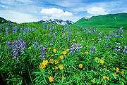 Alaska. Denali NP. Nootka Lupine (Lupinus nootkatensis) and Arnica sp.