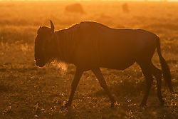 A motion-blur of a wildebeest (Connochaetes) walking backlit in the morning sun on the Serengeti, Ndutu, Ngorongoro Conservation Area, Tanzania, Africa