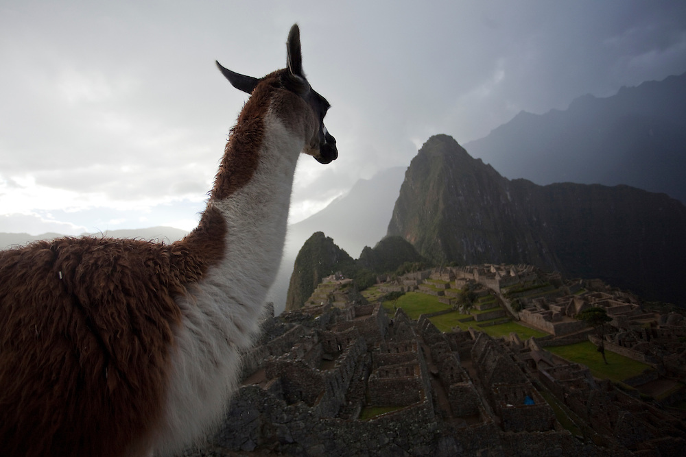 A llama looks down on Machu Picchu city in Peru.