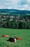 Deutschland, Germany,Baden-Wuerttemberg.Schwarzwald.Hinterzarten: Landschaft mit Wiese und Kühen und Blick auf Ort mit Kirche.Hinterzarten: landscape with meadow, cows and village...