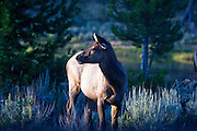Elk pauses while feeding near the west entrance to Yellowstone National Park.