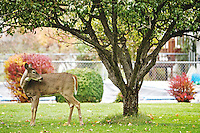 A deer scans its surroundings as it forages for food in a Dalton Gardens back yard Thursday.