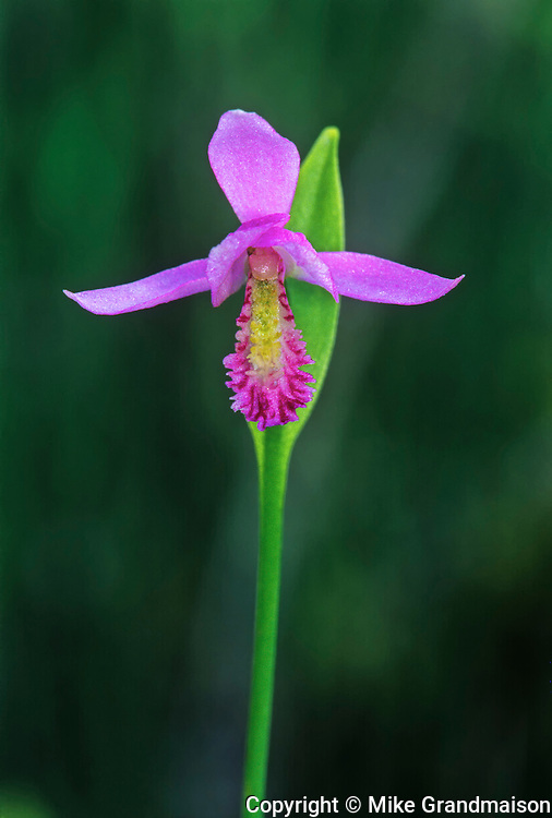 Rose Pogonia (Pogonia ophioglossoides) orchid<br /> near Gull Lake <br /> Manitoba<br /> Canada