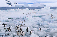 Penguins on ice flows