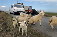 Stanislaw Zalinski, 31, tries to get the youngest sheep of his flock across the street near the village of Bustryk in Poland on April 17, 2002..Photo by Jakub Mosur