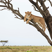 Tanzania, Ngorongoro Conservation Area, Ndutu Plains, Lioness (Panthera leo) rests on tree limb surveying savanna