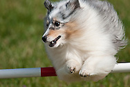 This is a blue merle Shetland Sheepdog jumping over a hurdle during an AKC sanctioned agility competition in upstate, NY.