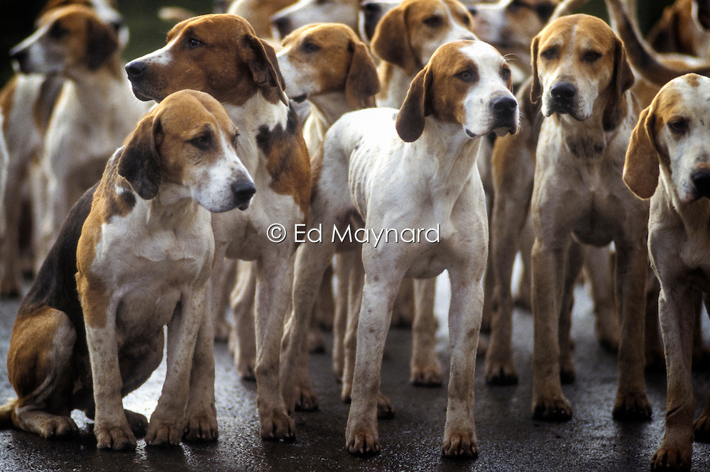 Hounds of the Sinnington Foxhounds, Ryedale, North Yorkshire, England, UK, 05/12/92.