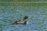Common loon (Gavia immer) with chick on Cassels Lake<br /> Temagami<br />Ontario<br />Canada