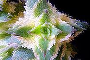 Cactus Extrusion