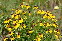 Bitterweed, (Helenium amarum), Gillespie County, Texas
