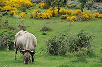 Morucha cattle in oak landscape<br /> Serra de Gata, Salamanca Region, Castilla y Le&oacute;n, Spain