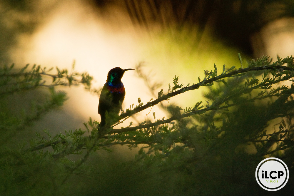 Shining Sunbird (Nectarinia habessinica) male silhouetted at sunset, Hawf Protected Area, Yemen