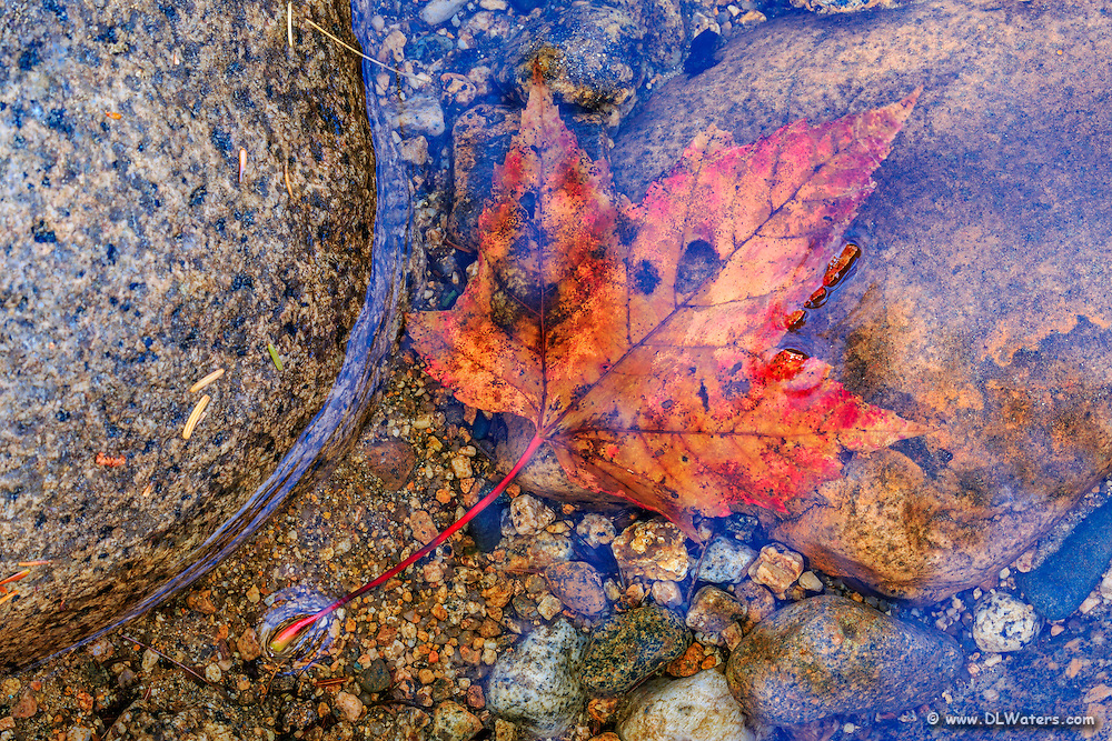 Fall maple leaf in a shallow pool on the Swift River along the Kancamagus Highway in the White Mountains, NH.