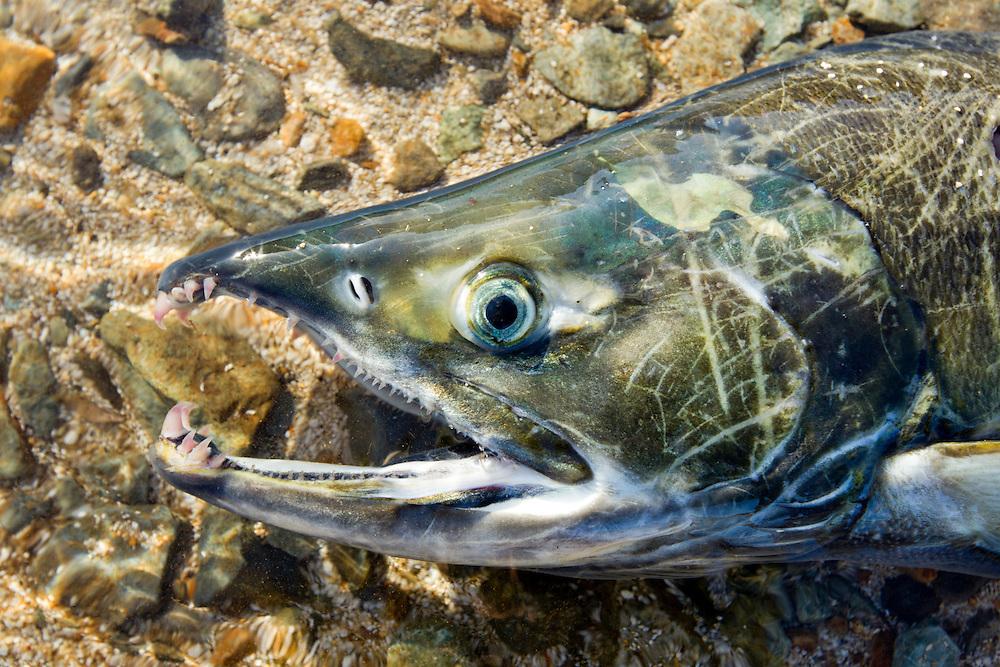 USA, Alaska, Katmai National Park, Close-up view of spawning Chum Salmon (Oncorhynchus keta) killed and partially eaten by Grizzly Bear in stream near Kuliak Bay
