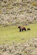 Grizzly Bear, sow and cub, Yellowstone National Park,  Spring, Ursus arctos horribilis
