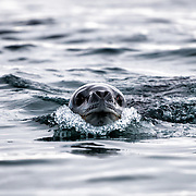 An inquisitive Leopard seal (Hydrurga leptonyx) swims with its head above the surface towards the camera in Curtis Bay on the Antarctic Peninsula.