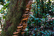 Toadstools grow on a tree trunk. Amazon rainforest