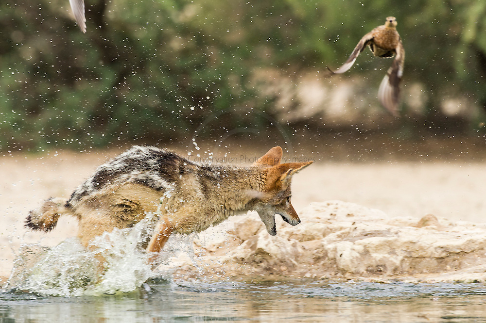Black Backed Jackal stalking and hunting sandgrouse as they come in to drink from the Cubitjie Quap waterhole in the Nossob Riverbed, Kgalagadi Transfrontier Park, Northern Cape, South Africa