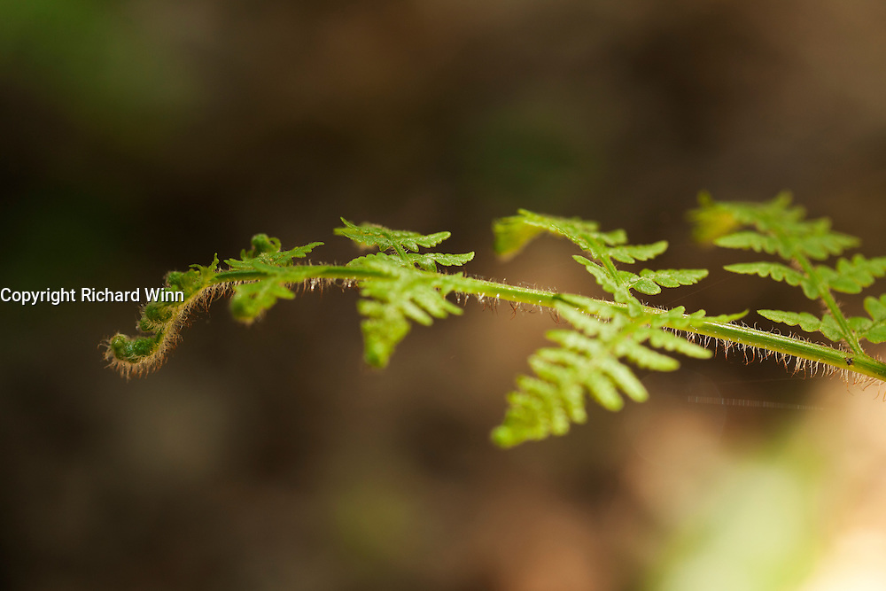 Fern frond on Woodlands Hill, near the village of Holford on the edge of the Quantock Hills, lit by back three-quarter sunlight.