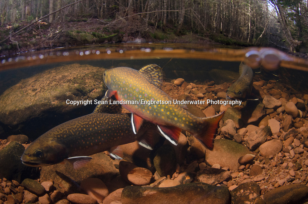 Brook Trout (spawning)<br />