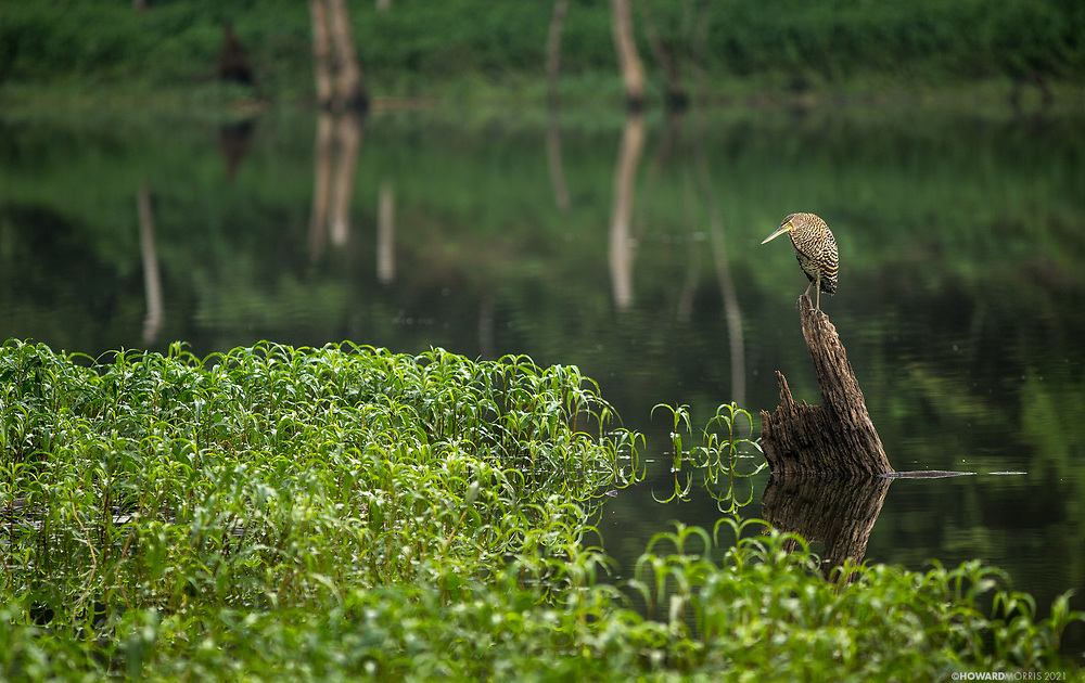 A Tiger Heron (Tigrisoma mexicanum) watches the shoreline for his morning meal on the Raspacullo river, Belize.