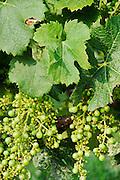 FRANCE, Saint Emilion<br /> Ripening Merlot grapes at the vineyards of Chateau de Ferrand (Grand Cru Classé)