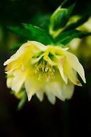 A peak inside a Lenten Rose.