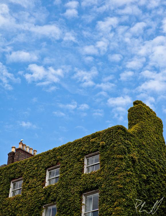 Dublin Ivy