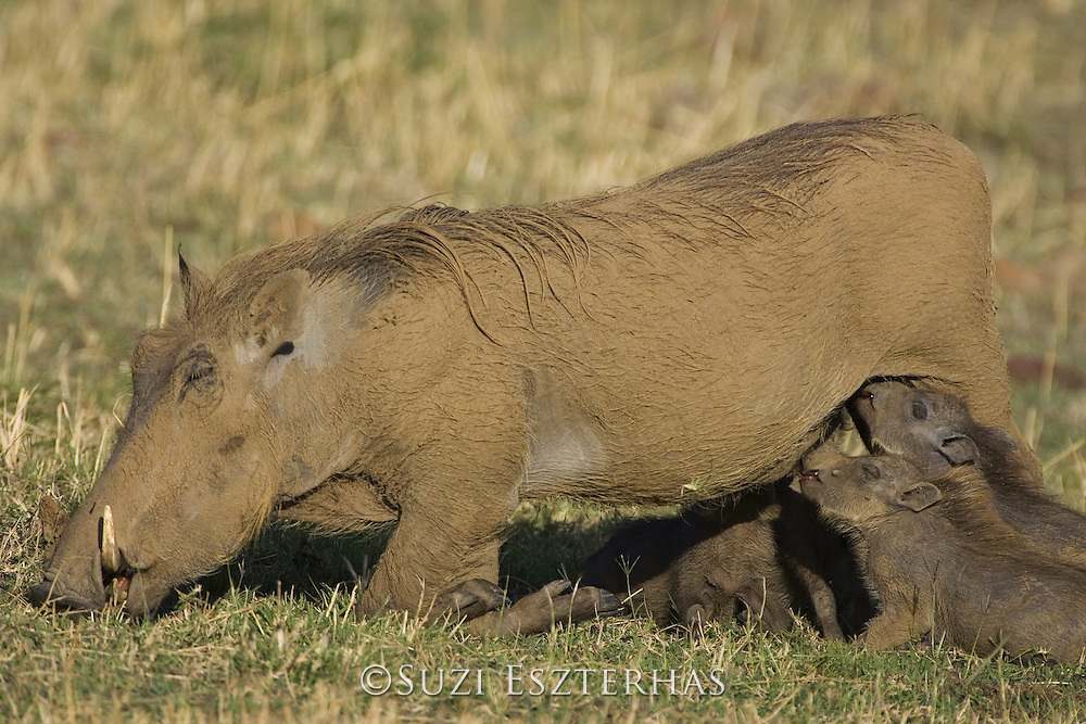 AFRICAN WART HOG <br /> Phacochoerus aethiopicus<br /> young piglets suckling<br /> Masai Mara Reserve, Kenya