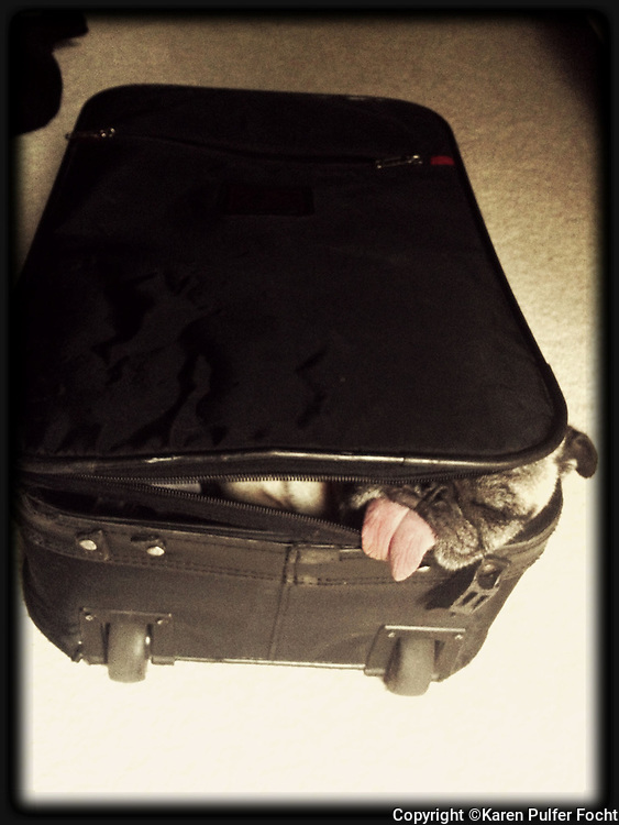 Peppermint the pug rests in her owners suitcase.
