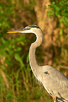 Arthur R. Marshall Loxahatchee National Wildlife Reserve, Wellington, Florida, USA. Great Blue Heron (Ardea herodias)   Photo: P