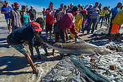 Bronze Whaler Shark caught in a trek net and later released, Strandfontein, False Bay, Western Cape, South Africa