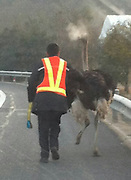 ostrich Lose on Motorway after fight with Femail partner<br /> <br /> A male ostrich crashed the expressway's safety bar and run onto the road,the ostrich belongs from a villager nearby, police finally guided the ostrich away from the expressway and sent it back to the villager's home, it was later revealed that the Male ostrich had been fighting with his female partner which caused him to run away<br /> ©Exclusivepix Media