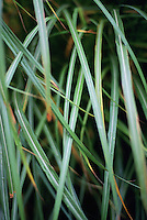 Closeup of blades of ornamental grass