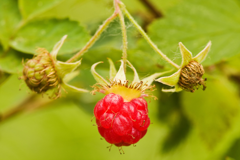 Closeup of Raspberry fruit in Chugach State Park in Eagle River in Southcentral Alaska. Morning. Summer.
