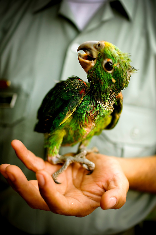 An injured parrot at the Villa Lorena Animal Refuge in Santiago de Cali, Colombia. The refuge, founded by Ana Julia Torres, takes in injured, abandoned and/or abused animals. Several exotic animals have been recovered from private properties of narco-traffickers, as well as from zoos and circuses.