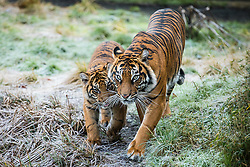 © Licensed to London News Pictures. 03/01/2017. London, UK. Sumatran Tigers Karis (L) and her mother Malati (R) at the London Zoo annual stocktake. Photo credit: Rob Pinney/LNP