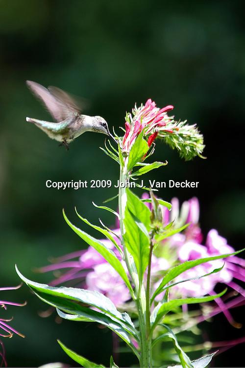 Ruby-throated Hummingbird feeding